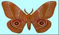 Mopane Worm (Gonimbrasia belina). Male moth. Photo: C.B. O'Neill