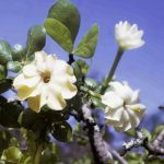 Gardenia ternifolia. Photo: Bart Wursten. Source: Flora of Zimbabwe