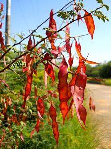 Acacia chariessa. Photo: L.E. Lauritsen. Source: Flora of Zimbabwe