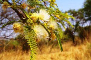 Albizia amara. Photo: Meg Coates Palgrave. Source: Flora of Zimbabwe