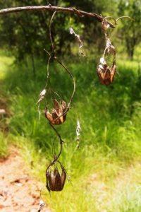 Aristolochia petersiana. Photo: Bart Wursten. Source: Flora of Zimbabwe