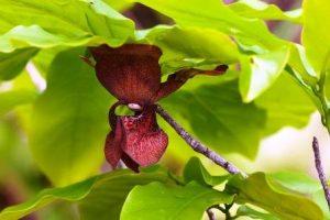 Monodora junodii. Photo: Bart Wursten. Source: Flora of Zimbabwe