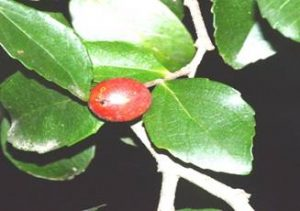 River Thorn Pear, Scolopia stolzii Botanic Gardens,. Photo: Ryan Truscott