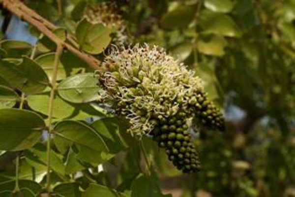 Brachystegia spiciformis flower spike – Photo Mark Hyde – Flora of Zimbabwe