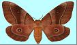 Mopane Worm (Gonimbrasia belina). Female moth. Photo: C.B. O'Neill