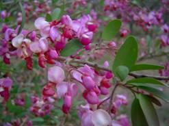Securidaca longepedunculata. Photo: Bart Wursten, Flora of Zimbabwe.