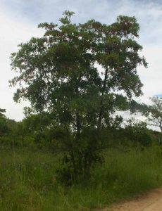 Terminalia sericea. Photo: Bart Wursten. Source Flora of Zimbabwe.