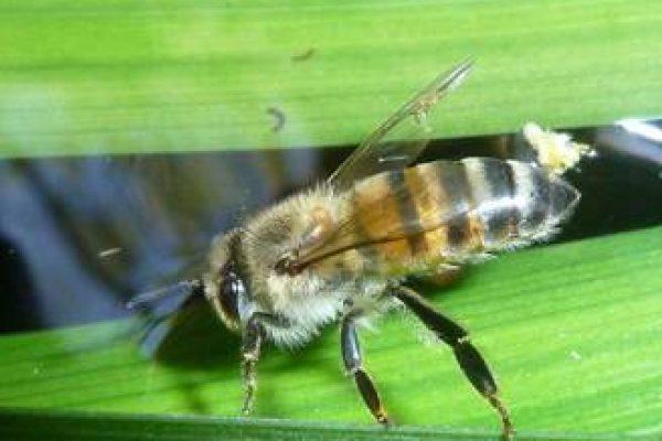 Apis mellifera scutellate – Photo from Wikipedea