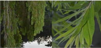 Callistemon viminalis branches & leaves Photos by Ryan Truscott
