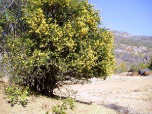 Cadaba kirkii. Photo: Mark Hyde. Source: Flora of Zimbabwe