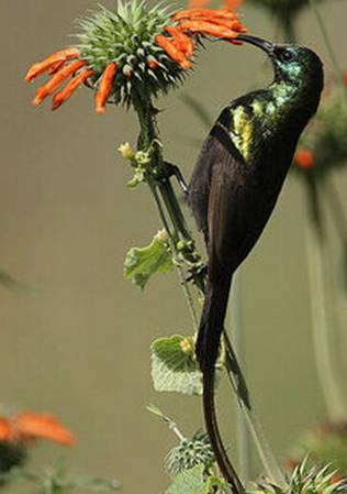 Bronze sunbird Photo by Steve Garvie (Wikimedia Commons)
