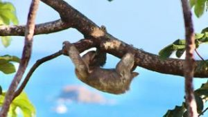 Many visitors to Costa Rica are keen to see a sloth, a tree-dwelling mammal renowned for its slowness.