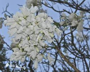 White Jacaranda Flowers Photo by Dave Hartung