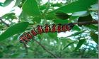 Mopane Worm (Gonimbrasia belina) Mature Worm. Photo: C.B. O'Neill