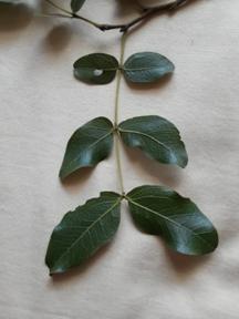 Musasa Leaves. Photo: Tony Alegria