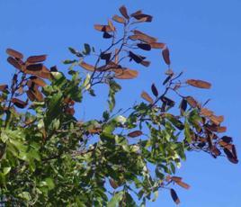Munondo pods. Photo: Bart Wursten. Flora of Zimbabwe