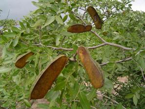 Musasa pods. Photo: Bart Wursten. Flora of Zimbabwe