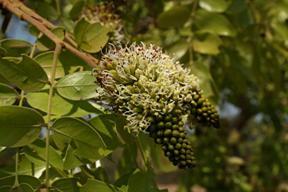 Musasa flowers. Photo: Bart Wursten. Flora of Zimbabwe