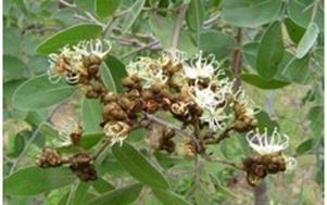 Munondo flowers. Photo: Flora of Zimbabwe