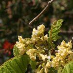 Dalbergia arbutifolia flowers