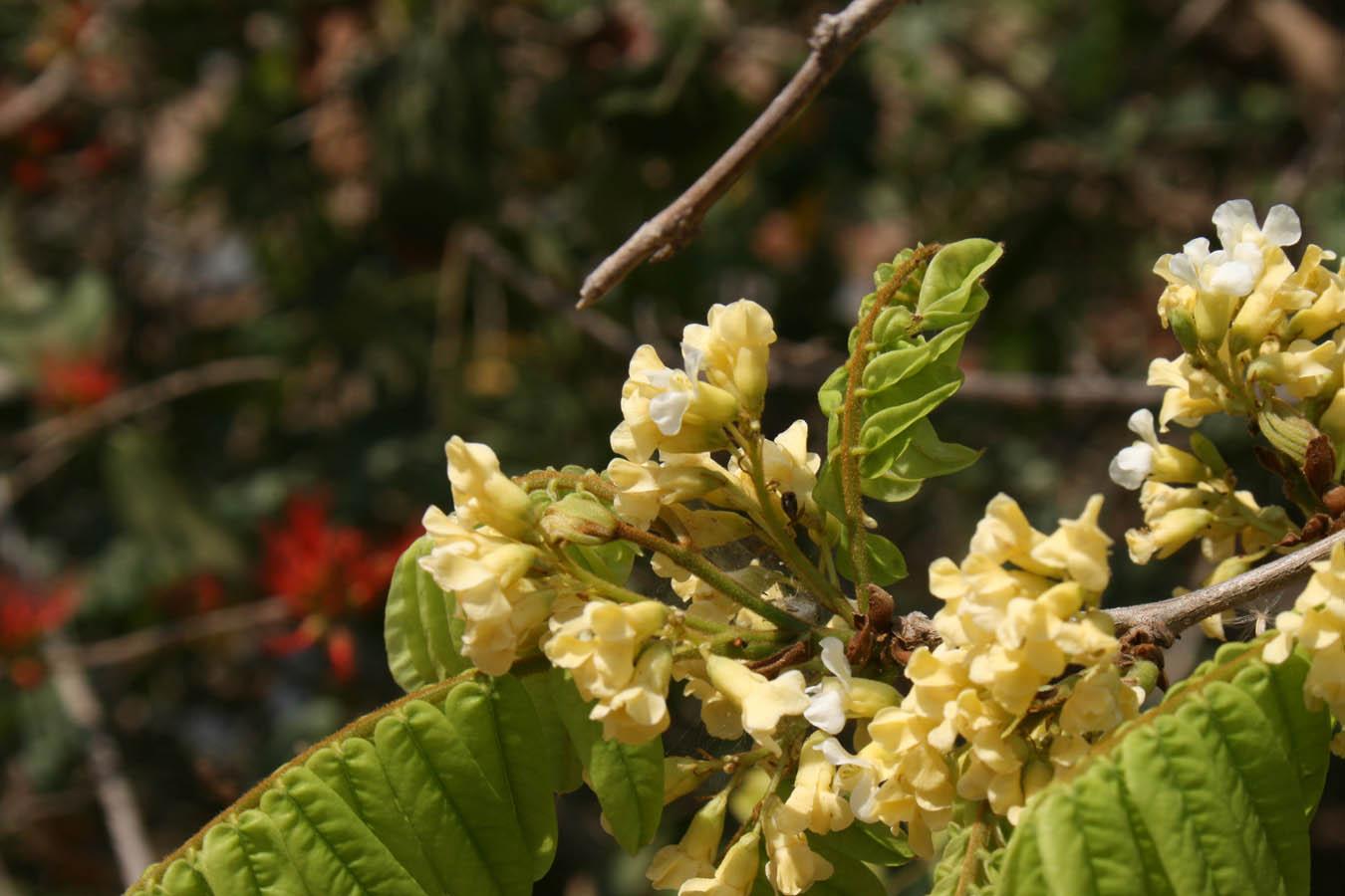 Dalbergia arbutifolia