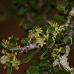 Boscia foetida flowers