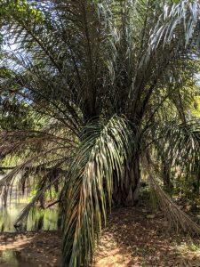 Raffia palm Photo by Mark Hyde