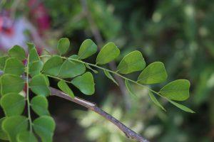 Dalbergia melanoxylon Photo by Mark Hyde