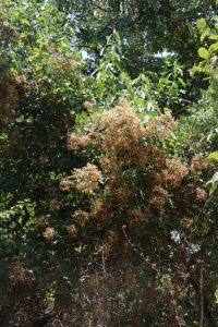 Vernonanthura polyanthes Photo by Mark Hyde