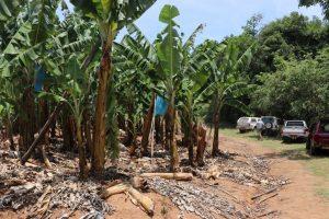 Banana plantation Photo by Mark Hyde