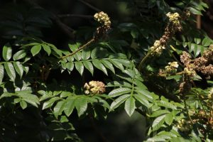 Bersama abyssinica subsp nyassae Photo by Mark Hyde