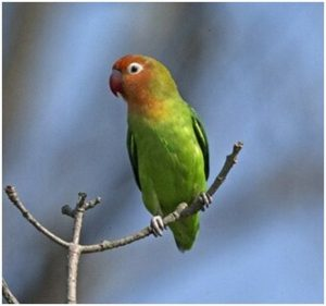 Lilians lovebirds are endemic to mopane woodlands. Photo lip kee. Wikimedia commons