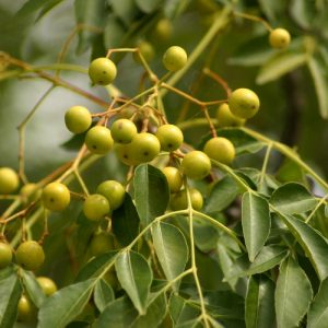 melia azedarach fruit