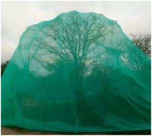 Mopane tree under a net to protect the caterpillars from birds