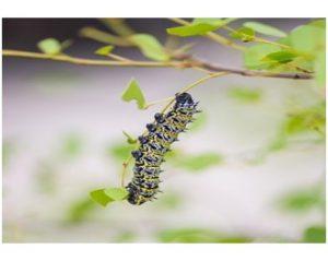 Mopane worm caterpillar of the mopane moth