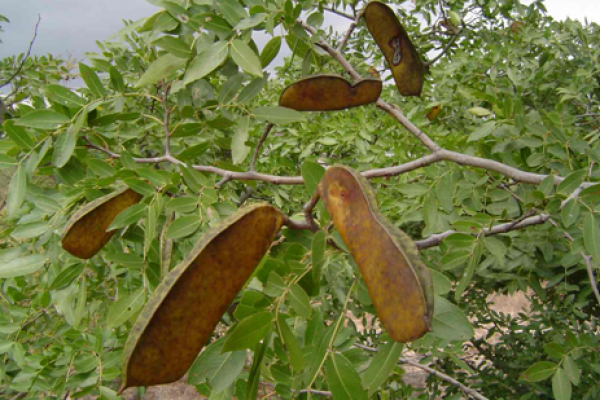 Musasa pods Photo by Bart Wursten Flora of Zimbabwe