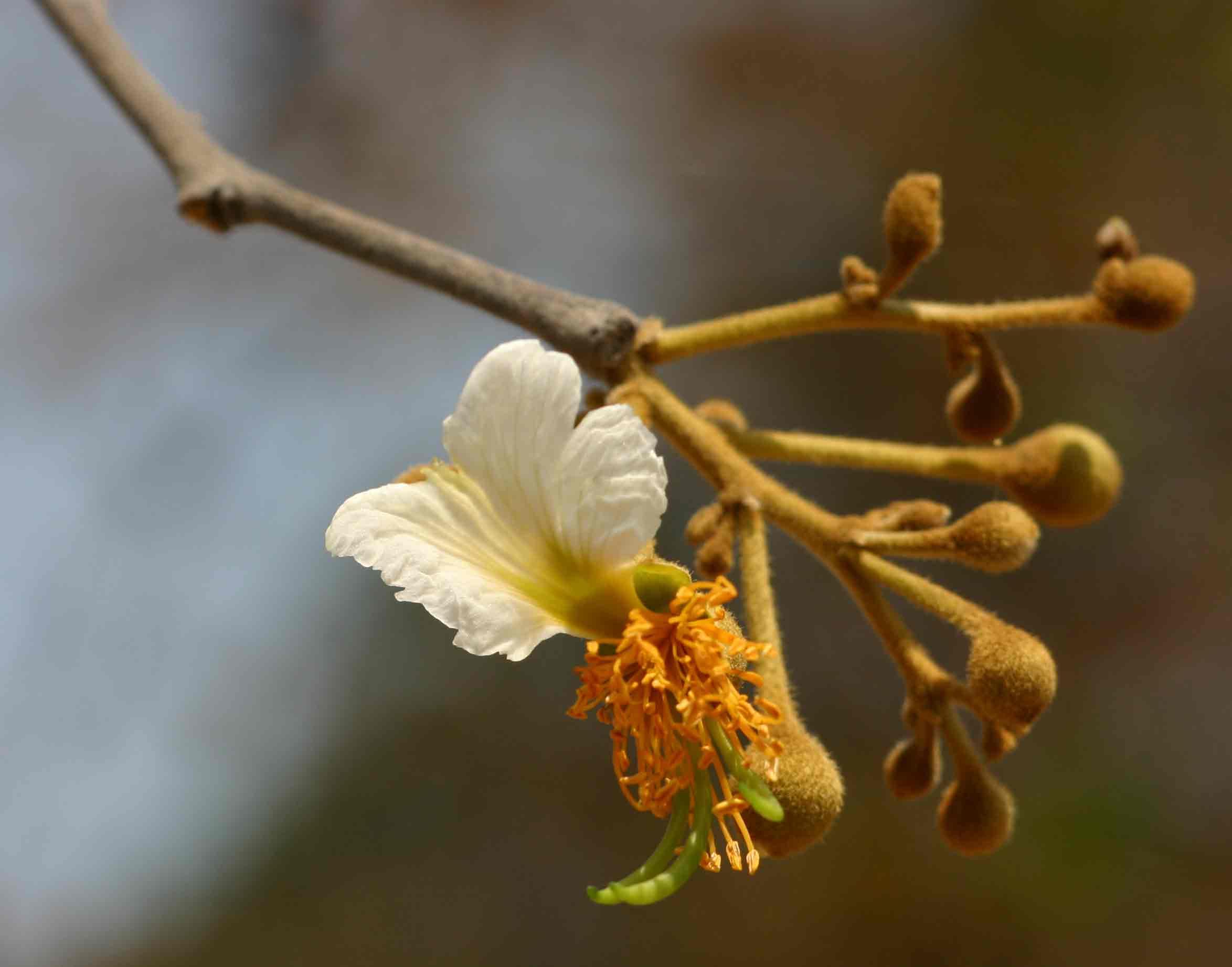 Bobgunnia madagascariensis flower Photo by Bart Wursten Flora of Zimbabwe