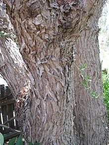 Schinus molle trunk