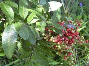 Schinus terebinthifolius fruit