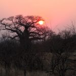 Gonarezhou sunset with baobab