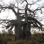 The baobab lovers Malilangwe