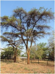 Two nyanga flat-tops acacia abyssinica with egg laying drone flies.-