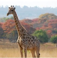 Giraffe and spring colours at Gosho Park