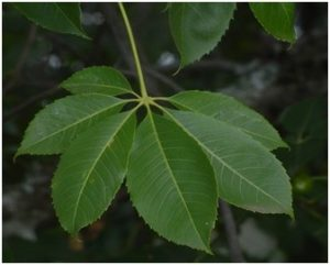 Ceiba insignis, leaves. Photo: Ryan Truscott