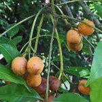 Zanha golungensis, Bot Garden Harare